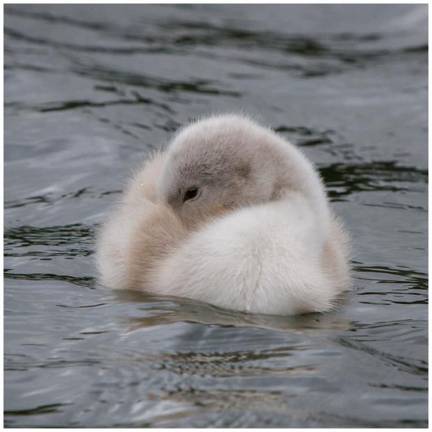 Penarth Times: ADORABLE: A shy, little cygnet in Cosmeston. Picture: Tina Haydon