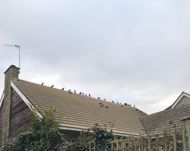 Penarth Times: Increased amount of birds flying around the area became a problem for residents