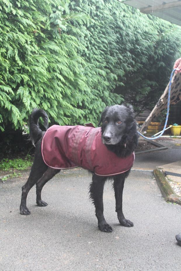 Penarth Times: Bailey: Such a star and looking for a home as an only dog as he wants all the attention and food. He will spoil you with love for a walk