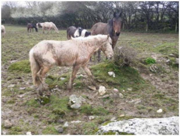 Penarth Times: RESCUED: The RSPCA rescued 10 horses in the Vale of Glamorgan in 2013